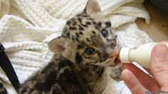 Recently, a keeper from Cotswold Wildlife Park, in the UK, became foster parent to an abandoned Clouded Leopard Cub. See more: http://www.zooborns.com/zooborns/2014/10/clouded-leopard-cub-makes-herself-at-home.html