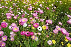 everlastings, would love my front yard full of these next year.