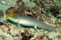 Valenciennea strigata | Valenciennea strigata (Broussonet 1782), the Blueband Goby. Indo ...