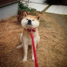 Shiba Inu Doge, Japanese Animals, Akita, Little Dogs, Dog Pictures, Puppy Love, Baby Animals, Dogs And Puppies, Cute