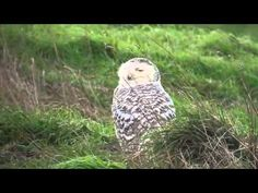 Animal Planet 2015 - Discovery Channel - Wildlife Animals - Snowy Owl Documentary [720 HD