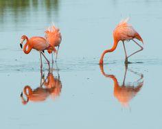 American Flamingo | The Nature of Delaware