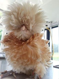 Bantam Buff Lace Polish Frizzle Pullet. #bird #fluffy #animals