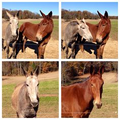 Our Mules Maggie and Serendipity.
