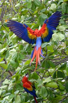 King of the jungle by LoveTravelFly on Macaw parrots at Playa Islita, Costa Rica. Pretty Birds, Love Birds, Beautiful Birds, Animals Beautiful, Tropical Birds, Exotic Birds, Colorful Birds, Big Bird, Small Birds