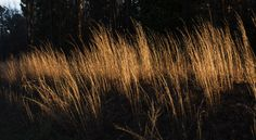Little bluestem is all around us, a grass native to the much of the US. It's value economically, environmentally, and aesthetically cannot be overstated.