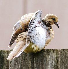 dove, fledgeling