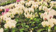 Onde comprar orquídeas com desconto