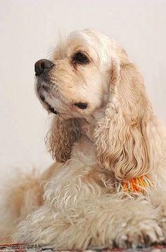 American Cocker Spaniel/甘え上手な美人顔の犬♪|おじゃかんばん「Dog Safety 倶楽部 」のファンがつくるサイト