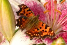 Polygonia C-Album, Summer 2013, in the Garden.