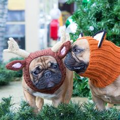 """""""do you like your hat?"""", fashionably challenged French Bulldogs in Knit Reindeer Hats"""