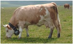 Simmental Cattle ORIGINATED: Western Switzerland. USE: Beef. Dairy. Draft animal. NOTES: Fast growing if well-fed. Among the oldest and most widely distributed breeds of cattle in the world. 80% in the U.S. are black.