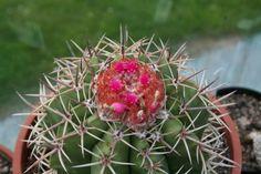 Melocactus -- Growing Melocactus Cacti