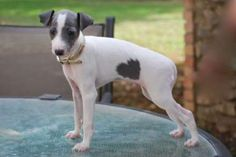 Akc Italian Greyhound Puppy