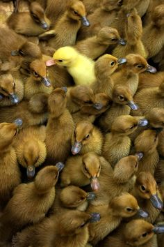 Stand out from the crowd! (Baby #ducklings).