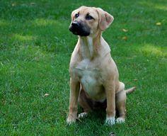 144 Best German Shepherd Lab Mix Images Lab Mixes Labrador