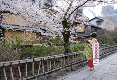 Maiko standing under the cherry blossom in Gion area  Maiko is an apprentice geiko in western Japan, especially Kyoto. Their jobs consist of performing songs, dances, and playing the shamisen. #Kyoto #Japan