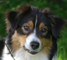 australian shepherd | Australian Shepherd Zucht Rosebud of Crana: Kompetenter Züchter von ...