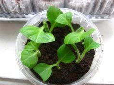 Черенкование петунии: посадка черенков в грунт -Листья черенков можно срезать наполовину, чтобы уменьшить потери влаги через листовые пластины
