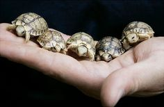 BABY TURTLESSSS!!! The best thing about turtles are their little tiny tails. so cuttteee