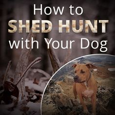 How to Shed Hunt With Your Dog