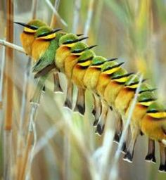 Bee eaters seen on a safari in Botswana, Africa.  Travel to Botswana with SEVENTH SENSE DMC. A member of GONDWANA DMCS - your network of boutique Destination Management Companies for travel to all the exotic corners of this world - www.gondwana-dmcs.net