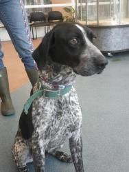 Pongo (S-8A) is an adoptable Australian Cattle Dog (Blue Heeler) Dog in Lindon, UT.  ...