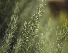 Plant These 5 Herbs to Deter Those Pesky Deer: Rosemary