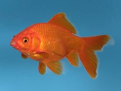 Would you pay £300 to save the life of a constipated goldfish? One man did just that http://ind.pn/1vBg4Vi