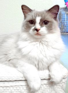 This is Calli, our blue bicolor Ragdoll cat.