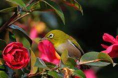 ツバキ属、鳥類、枝、Zosterops、動物、花