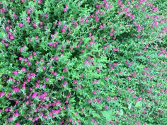 Pink skullcap is evergreen in San Antonio. I do not know if this one is a Texas native. There are several native skullcaps and many hybrids.