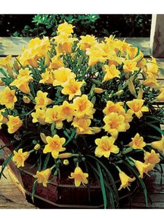 Yellow daylilies in a container.