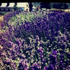Lavender from the Young Living farm in Mona, Utah. by cristina