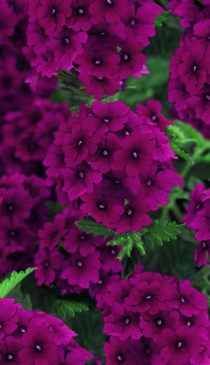 Verbena 'Superbena Burgundy' Another great verbena from Proven Winners.