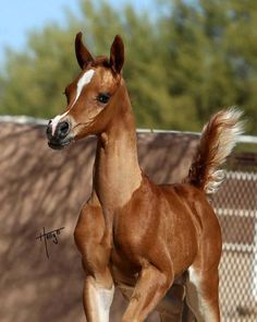 What a cute little foal! Pretty little face held high and tail held up, too. So cute. Nice horse photography.