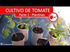 ▶ Cultivo de Tomate Parte 1 - Como plantar tomates espectaculares en casa paso a paso - YouTube