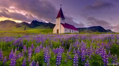 The lovely #lupine fields at #sunset in Vík í Mýrdal, #Iceland! :)