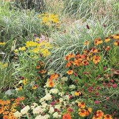My mother's grass garden is looking spectacular this year!but on a much smaller scale! Prairie planting in… Prairie Planting, Prairie Garden, Green Garden, Garden Plants, Garden Grass, Patio Yard Ideas, California Native Plants, Garden Borders, Natural Garden