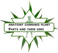 #anatomy #cannabis plant parts and their uses
