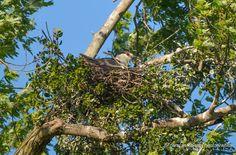 Black Crown Night Heron on Nest, Heron Rookery, Old Hickory Lake, Hendersonville, TN