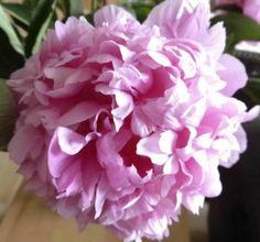 Roze pioenroos (9 pieces)