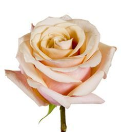 Mother of Pearl Rose, have to add this one to the rose garden, Blush Pink Wedding Flowers, Blush Pink Weddings, Blush Roses, Mother Of Pearl Rose, Coming Up Roses, Types Of Flowers, Rose Bouquet, Garden Wedding, Flower Power