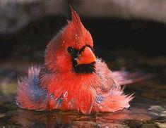 Illinois cardinal sitting on some eggs.