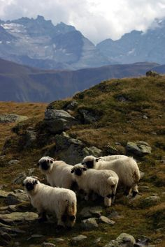 Schwarznasenschafe in Bellwald (VS) The Mont, Cute Sheep, I Fall In Love, Alps, Rocky Mountains, Austria, Goats, Germany, Birds