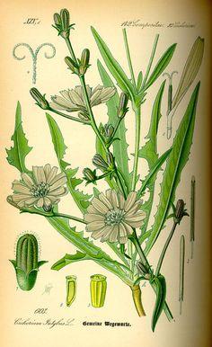 Sigur. Cichorium intybus. Flora von Deutschland Österreich und der Schweiz (1885).