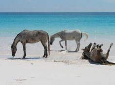 sunbathing horses on the beach