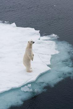 Polar bear, Spitzbergen; Norway| (by:Exodus Travels)