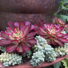 Aeonium Mardi Gras underplanted with Burro's Tail (houseplant) sedum Morganianium