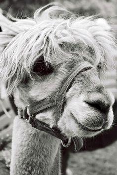 Black and White Animal Photograph - Llama Alpaca Print - 4x6 - Barnyard Fine Art Photograph - Cute Animal Home Decor - Nature
